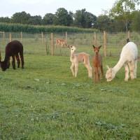 Alpacas 08-2011