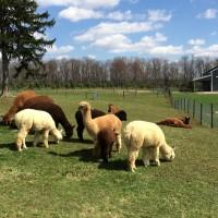 Alpacas April 2015