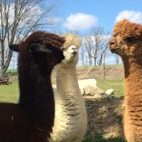 Eclaire, Firecracker & Chelsea having a meeting - April 2015