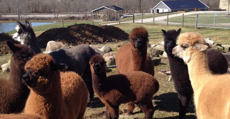 Alpacas 04-04-15
