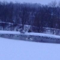 Trumpeter swans, mallards and ducks