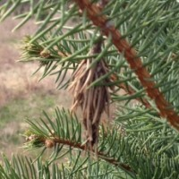 evergreen pests | Skylar Brook Farm